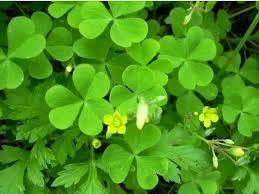 graines de fleurs à quatre feuilles graines de trèfle chanceux vanille graine d'herbe jardin de plantes en pot bonsaï semences de fleurs 100pcs bricolage maison de plantes