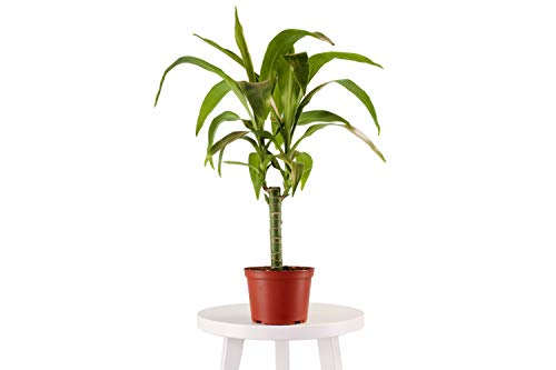 """Leaf & Linen 6"""" Grow Pot, Live Indoor/Outdoor-Air Houseplant and Office Décor 