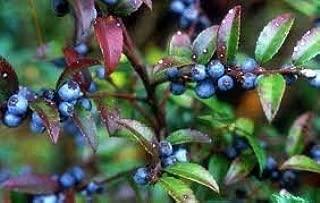 black huckleberry shrub