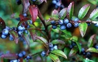 The Dirty Gardener Vaccinium Ovatum Evergreen Huckleberry - 50 Seeds
