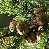 VISA STORE Monterey Semillas de semillas (Cupressus...