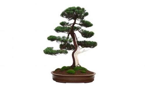 ScoutSeed Juniperus chinensis (Juniper Chino) - 20 Semillas. Un Favorito para los Bonsai.