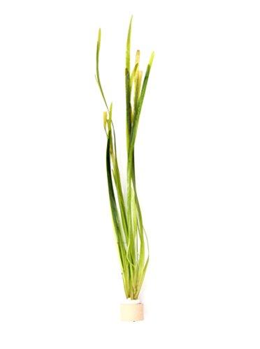 Deko im Trend Vallisneria spiralis Wasserpflanze Aquarium Vallisnerie 1 Tonring