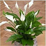 Puspita Nursery Live Peace Lily or Spathiphyllum Green Color Indoor Plant Air Purifier