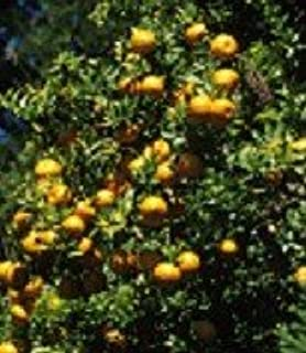 Sweet Kumquat Tree- (2 Year Old) Can not ship any citrus outside the state of Texas