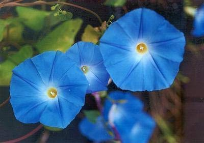Morning Glory, Heavenly Blue Seeds (20 Seeds)
