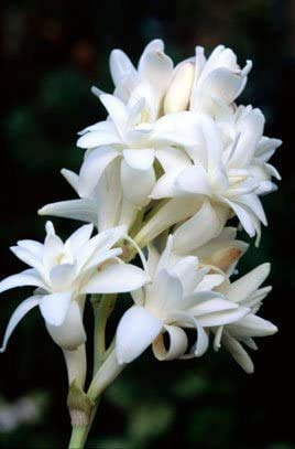 Novakie Seeds Polianthes TUBEROSA/Tuberose White Flower Bulbs (15 Bulbs in Each Pack) ONE of The Most Popular Flower Bulbs for Summer Seasons by Novakie Seeds