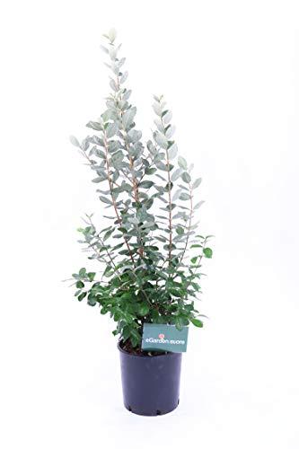 Pianta di Feijoa o Acca Sellowiana da esterno v24 pianta vera ornamentale