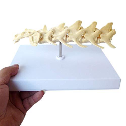 Muñeca educativa Perro Modelo de vértebras lumbares - Modelo de enseñanza Vertebral de Hueso de Perro - Modelo anatómico de Esqueleto Animal - para Vemodel