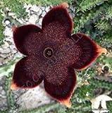 VISA STORE EDIOLEA, Huernia exótico Orbea Raras suculento de Stapelia semilla -5 Semillas