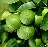 Key Lime Tree - Citrus aurantifolia - Lime Plants -No Shipping to CA, AZ, TX, LA, MS, AL, GA, FL, SC