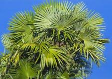 Trachycarpus fortunei PALMIER, 100 graines, HARDY FAN ZONE PALM 6-11