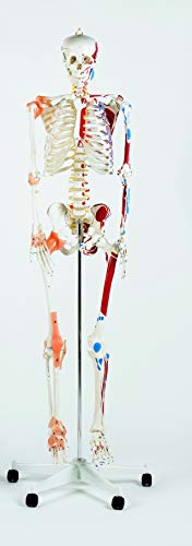 Performance Health Deluxe Life Model Skeleton - 170 cm,...