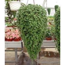 20seeds / sac importé COINS en forme de coeur plantes suspendues de la saison d'automne herbe fleur en pot à l'intérieur balcon des semences