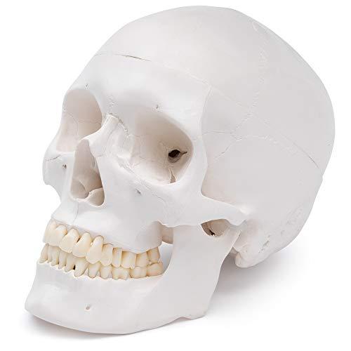 Cranstein A-240 Schädel - Modell für Anatomieunterricht, 3-teilig