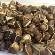FERRY Keim Seeds: 5000 Moringa Samen - Frische Samen mit großen Keimungrate. durch Wahrnehmung des Lebens