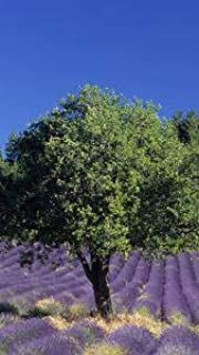 Holm - Árbol de trufa de roble (inoculado con esporas de trufa de verano/otoño), color negro