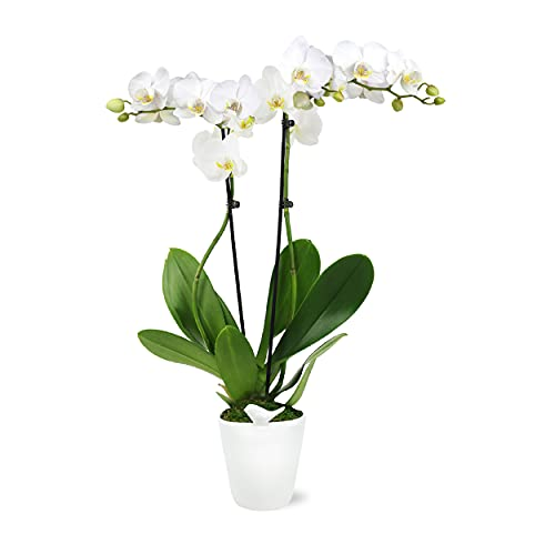 Plants & Blooms Shop Easy Care Live Plants - Orchid, 5', White in White Pot