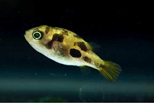熱帯魚/淡水魚/フグ】 アベニーパファー ■サイズ:1cm± (5匹)
