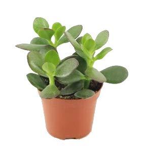 Geldbaum, (Crassula ovata), pflegeleichte Zimmerpflanze, Kübelpflanze, Sukkulente (im 8,5cm Topf, ca. 10cm hoch)