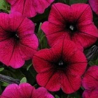 Petunia Seeds Shock Wave Deep Purple 25 Pelleted Seeds AIND-060