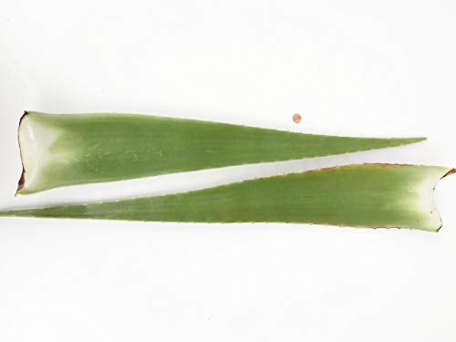 2 x Bestes Bio Aloe Vera Blatt - Barbadensis Miller