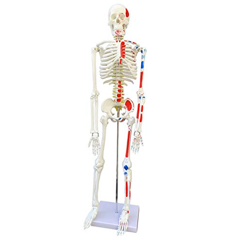 CLHCilihu Farbe menschliches Skelett-Modell Anatomiemodell Körper Skelett 85cm mit Muskeldystrophie Gemalt für Medical School Student Anatomische Bildung Lehrmittel