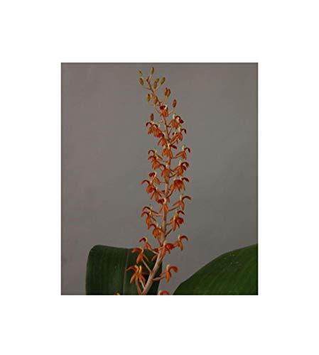 Stk - 2x Liparis latifolia Multiflower Blüten orange Orchidee Pflanze OWD102 - Seeds Plants Shop Samenbank Pfullingen Patrik Ipsa