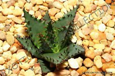 VISA STORE Rare oe II @ J @ Epineux Succulent exotiques Hardy Seed 50 Seeds