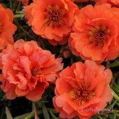 200 pcs Portulaca grandiflora floraison couvre-sol mousse de plantes rose graines de fleurs 200 orange et rouge