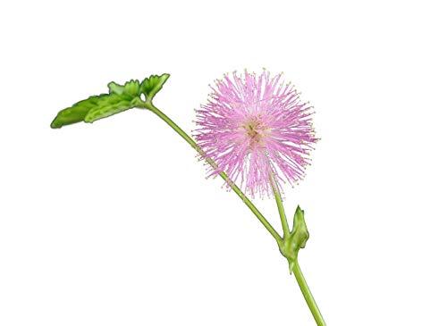 1000 Samen Echte Mimose (Mimosa pudica) (Spannende Pflanze für Kinder)