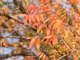 Genipap 10 piezas de semillas de árbol de pistache chino