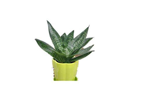 KINGDUO Egrow 400 Pcs Jardin Bonsai Sansevieria Graines 100% Véritable Bio Floraison Fleur Plante Graine-2