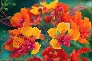 バルバドスの誇り、孔雀の花、小人Poinciana、Bird of Paradise 10 Seeds