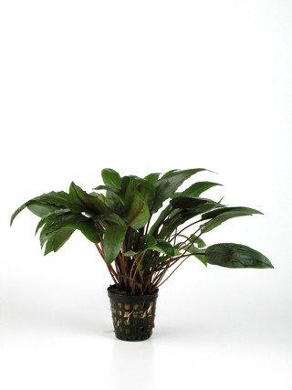 1 Topf Cryptocoryne becketii, Wasserpflanzen