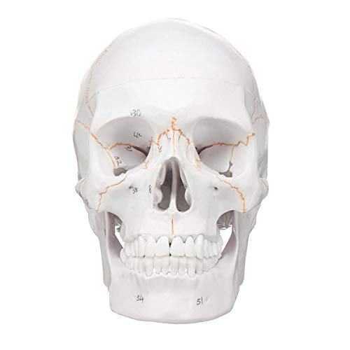 JAP768 3pcs Head Skeleton Skull 1: 1 Modello Medical Science Teaching Life-Skull Skull per la Scuola Anatomia Umana Precise Adult Head Medical Model