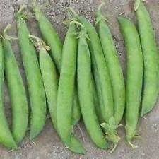 200 graines Green Arrow graines de pois non génétiquement modifiés, les graines Heirloom nouvelles semences pour 2017