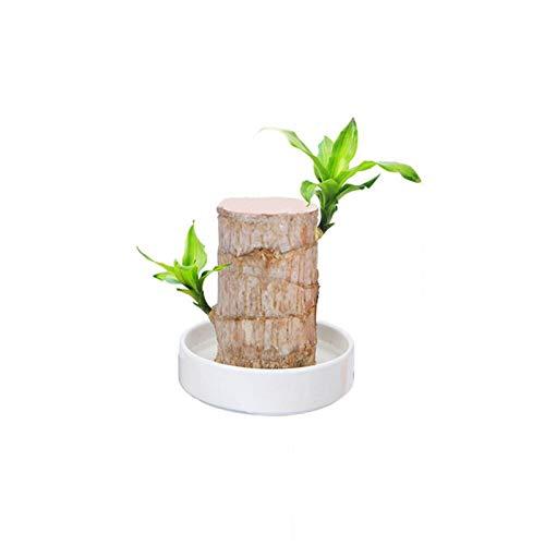 Brasilien Holz Wasserpflanze kleinen Topf Büro Desktop saubere Luft vier Jahreszeiten Stumpf viel Glück Holz