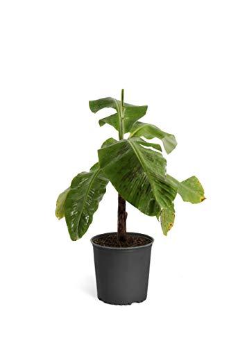 Brighter Blooms - Cold Hardy Basjoo Banana Tree - Indoor/Outdoor Tropical Plant, 1 Gallon, No Shipping to AZ
