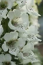 Digitalis Purpurea Candy Mountain White Perennial Flowers Seeds 1,000 Pcs an