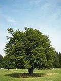 10 Semi di Carpino europeo B1719 (Carpinus betulus)