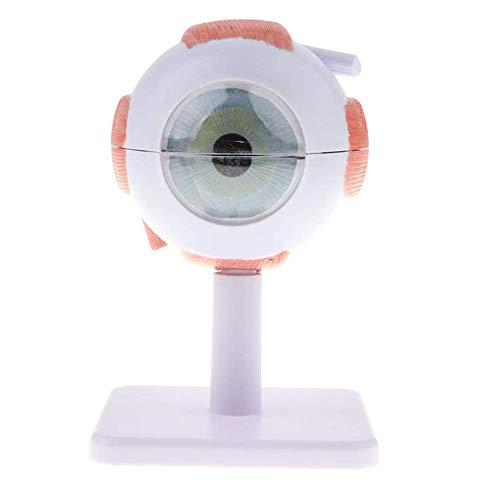Minsong 3 Veces Modelo De Globo Ocular, Modelo Anatómico De Ojo Anatomía Humana Modelo Médico