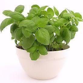 Vistaric Seedville 2000 Sweet Genovese Basilic Ocimum Basilicum Herb Graines De Fleurs