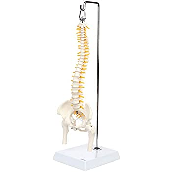 Axis Scientific Miniature Spine Anatomy Model 15.5  Mini Vertebral Column Model Details Vertebrae Spinal Nerves Lumbar & Pelvis Includes Stand Product Manual and Worry Free 3 Year Warranty