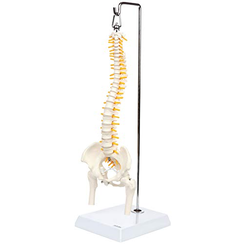 Axis Scientific Miniature Spine Anatomy Model, 15.5' Mini Vertebral Column Model Details Vertebrae, Spinal Nerves, Lumbar & Pelvis, Includes Stand, Product Manual, and Worry Free 3 Year Warranty