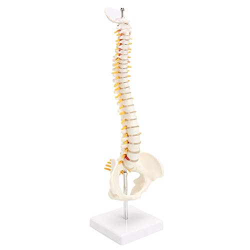 JAP768 1pc 45CM Human Spine With Pelvic Model Human Anatomical Anatomy Spine Medical Model Spinal Column Model+Stand Fexible