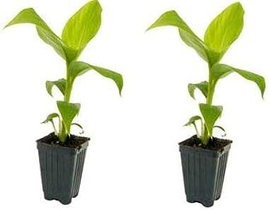 2 Musa Basjoo Banana Tree/ Hardy Banana Tree in 4 Inch Pots (2 Four Inch Pots with a Banana Starter Plant in Each Pot)
