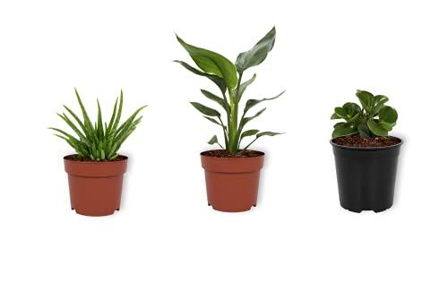 Set 3er Zimmerpflanzen - Aloë Vera,...