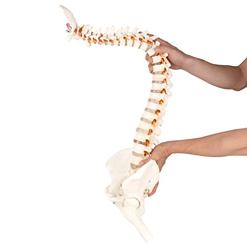 LIQIU Flexible Chiropractic Spine Model with Stand Human Skeleton Model for Anyone in Education Or Medical Field