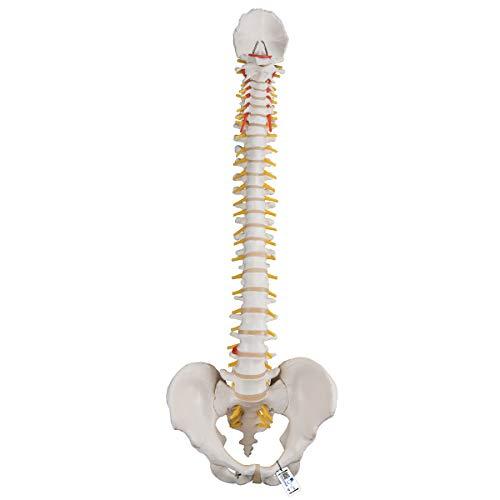 3B Scientific Menschliche Anatomie - Flexibles Wirbelsäulenmodel, klassisch + kostenloser Anatomiesoftware - 3B Smart Anatomy